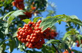 Ashberry at dry sunny day — Stock Photo