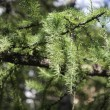 Fir tree — Foto de stock #13340531