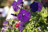 Blue flower Campanula ad dry sunny day — Stock Photo