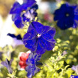Blue flower Campanula ad dry sunny day — Photo