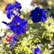 Stock Photo: Blue flower Campanulad dry sunny day