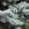 Fir tree — Stock fotografie #14158410