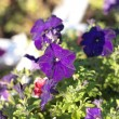 Blue flower Campanula ad dry sunny day - Stock Photo
