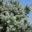 Fir tree — Foto de stock #14470463