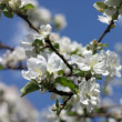 Apple Flower at Spring — Stock Photo