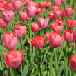 Stock Photo: Red Tulip at Spring
