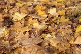 Gele maple tapijt op herfst — Stockfoto