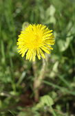 Dandelion at Spring — Stock Photo