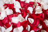 Beautiful red rose petals on white background — Stock Photo