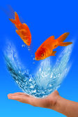 Goldfish Jumping. — Stock Photo