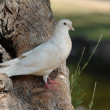 Royalty-Free Stock Photo: White Dove.