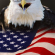 American Bald Eagle. — Stock Photo