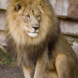Male lion. — Stock Photo