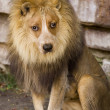 Stock Photo: Lion With Dog Face.