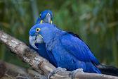 Macaw Birds. — Stock Photo