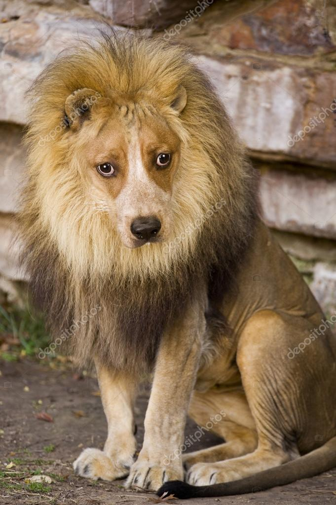 Crazy looking lion with dog face. — Stock Photo #14361847
