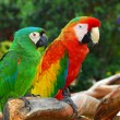 Macaw Birds. — Stock Photo
