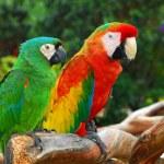 Macaw Birds. — Stock Photo #31375007