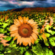 HDR Sunflower Field. — Stock Photo #34698873