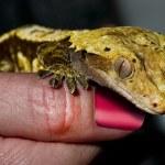 Yellow Gecko. — Stock Photo #40935271