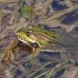 Frog in the water — Stock Photo
