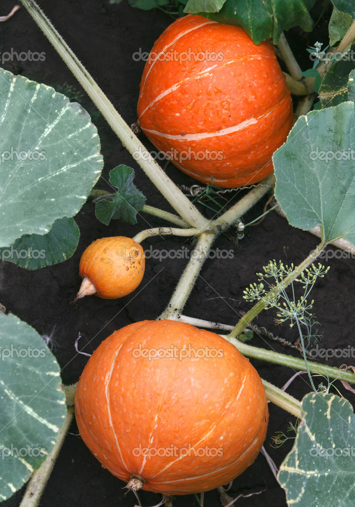 Orange pumpkins growing in the garden — Stock Photo #12682637