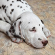 Dalmatipuppy dog — Stock Photo #25575361