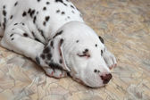 Dalmatian puppy dog — Stock Photo