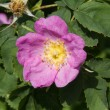 Dog rose flower — Stock Photo