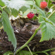 Bird in nest — Stock Photo #30219923