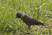 Jackdaw (Corvus monedula) — Stock Photo