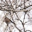 Stock Video: Bullfinch