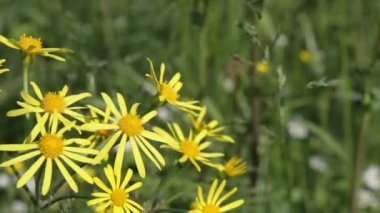 Common Ragwort (Senecio jacobaea) — Stock Video