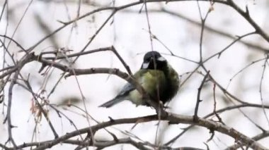 Great Tit — Stock Video