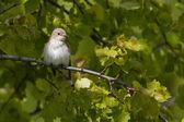 Gray flycatcher — Zdjęcie stockowe