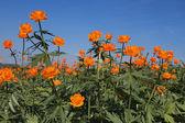 Globe-flower — Stock Photo