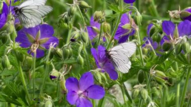 Black-veined White butterfly — Stock Video