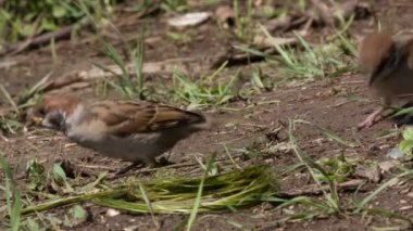 Tree sparrow, Passer montanus — Stok video