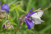 Black-veined White butterfly — Stock Photo