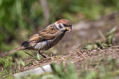 Tree sparrow, Passer montanus — Stock Photo