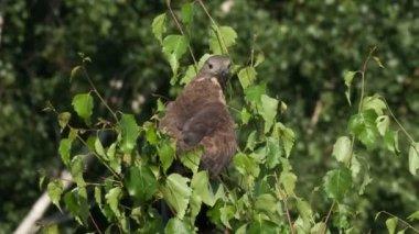 ヨーロッパハチクマ ハーグ apivorus — ストックビデオ
