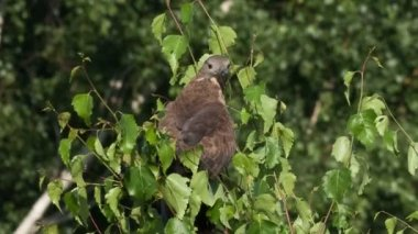 Honey buzzard, Pernis apivorus — Stock Video
