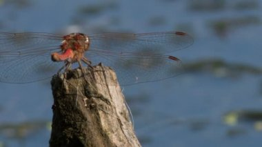 Two dragonflies — Stock Video