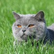 Grey british cat in the grass — Stock Photo