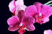 Pink orchid at the dark — Stock Photo
