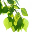 Green poplar leaves isolated — Stock Photo #25469791