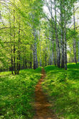 Footpath in birch grove — Stock Photo