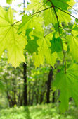 Green maple leaves on defocused background — Stock Photo