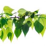 Green poplar twig isolated — Stock Photo #25809827