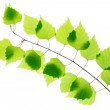Birch twig with green leaves — Stock Photo